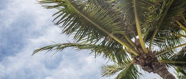 banner-palm-tree